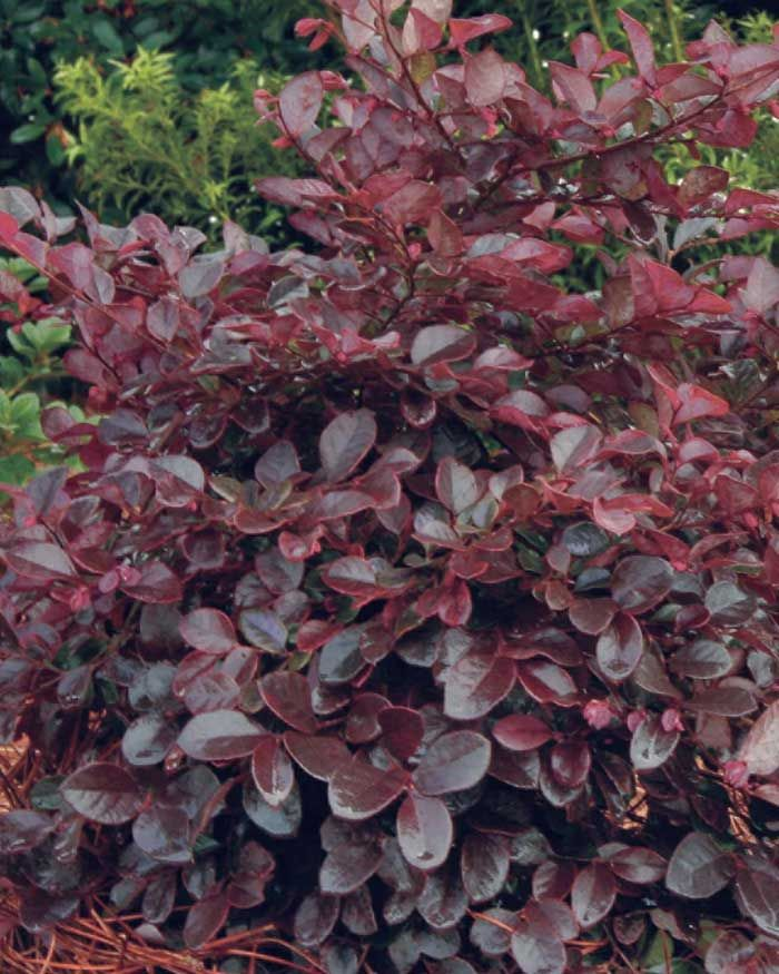shade hedges zone 7. bloom/feature magenta ribbons in spring plant type shrubs evergreen or deciduous usda zones 7,8,9,10 zone detail hardy to 0 f key fe\u2026 | pinteres\u2026 shade hedges 7