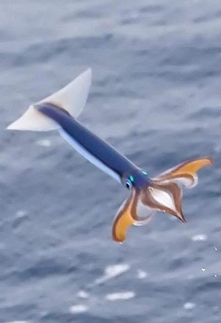 Japanese-flying Squid (todarodes pacificus) ~ The neon flying squid propels itself by