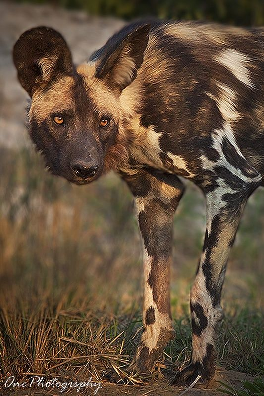 Painted Dog by Onephotography Photographic Safaris on 500px