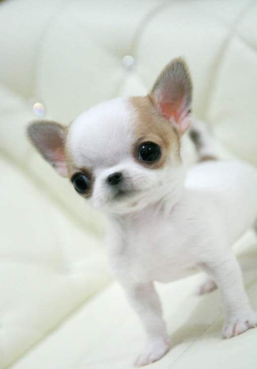 Toy Applehead Chihuahua | applehead chihuahua puppies for sale