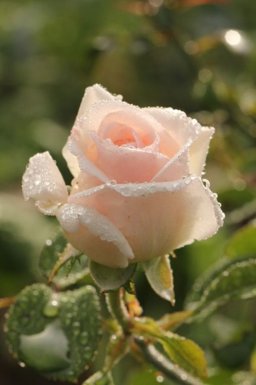 Beautiful buff(barely pink) rose...my favorite...covered in raindrops