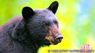 Los osos negros tienen una sorprendente capacidad de sanar mientras hibernan, según un nuevo estudio.    Durante ese período, las heridas de los animales sanan prácticamente sin dejar cicatrices y sin riesgo de infección.  Contenido relacionado