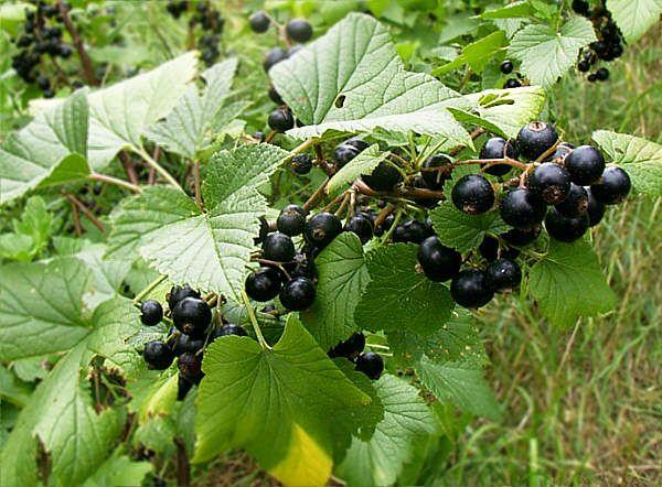 Plantația de coacăz negru: Afacerea care îți aduce un profit de 8.500 euro…