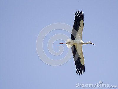 White stork - Cicogna - ciconia