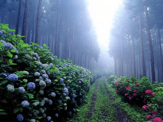 Hydrangea Garden #Iwate #Japan