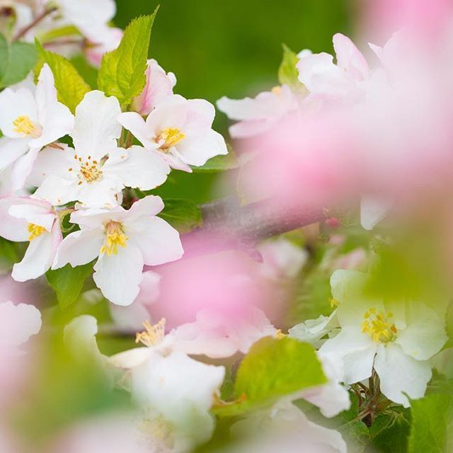 Een #doorkijkje naar onze prachtige #appelbloesem. #wit #roze #bloesem #WeledaTuin #WeledaWildlife #Weleda