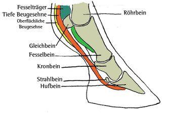 Die Anatomie des Vorderbeines. Mehr über individuelle Hufformen und Bewegungen in meinem neuen Artikel