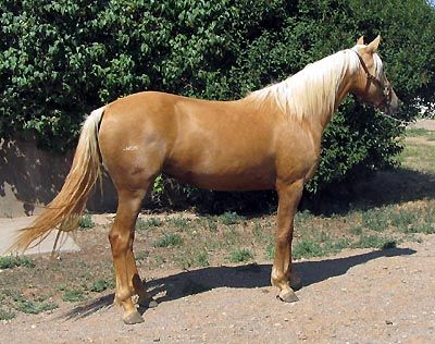 Bar None Ranch- Morgans At Stud and For Sale | Filly ...