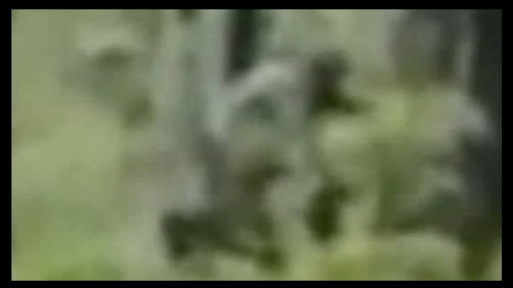 ThinkerThunker - Turkey Hunter Bigfoot(s) more amazing video of bigfoot with child! They are multiplying out there as we write!!