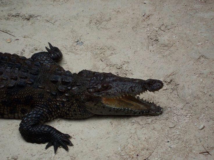 Crocodile. Xcaret park, Riviera Maya, Mexico.