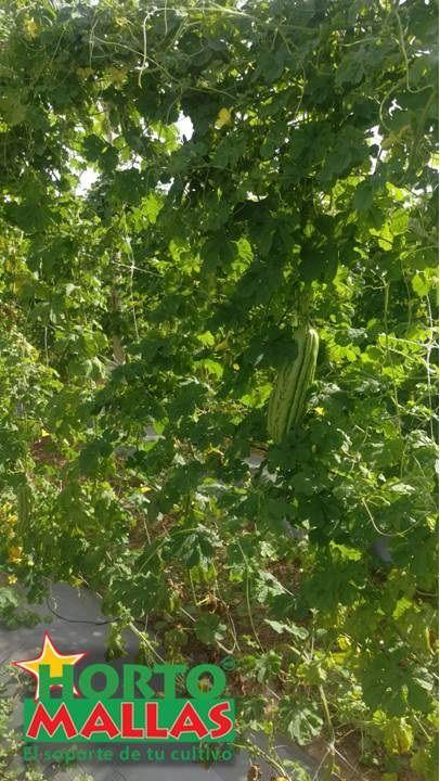 Cubndeamor chino en malla espaldera HORTOMALLAS, la mejora forma de entutorar vegetales.