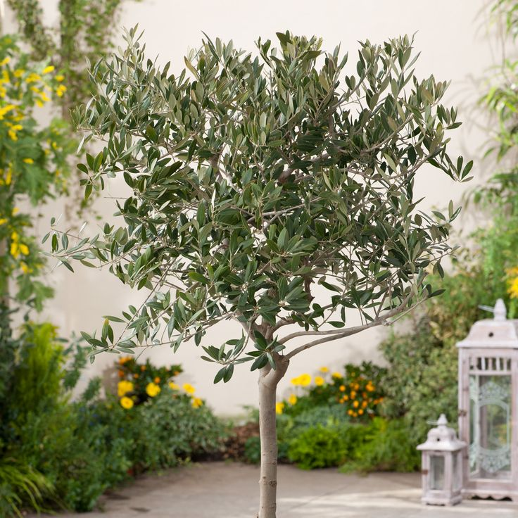 Arbequina Olive Tree is the newest trendy houseplant. This Arbequina Olive Tree will produce fruit which can be eaten fresh or pressed into homemade olive oil. Can be grown outside in milder climates but also does well in a sunny location indoors. Buy online Garden Goods Direct.