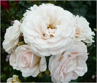 Rose Naming Opportunities Arlieke (Dicdidthat)  Birth of first granddaughter