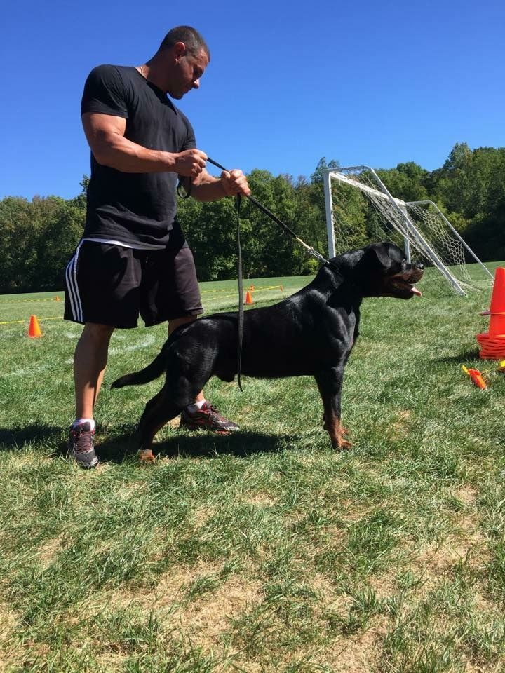 German Rottweiler Puppies By Carrabba Haus Rottweilers On Edge Vom