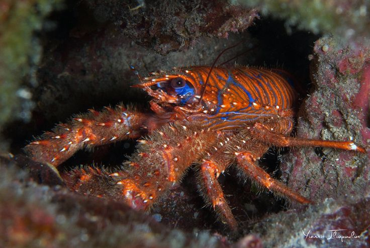 Galathea Strigosa (Lobster)  -- Athos Scuba Diving Center