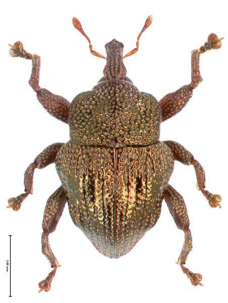 Trigonopterus cupreus von der Insel Sumbawa hat eine außergewöhnliche...