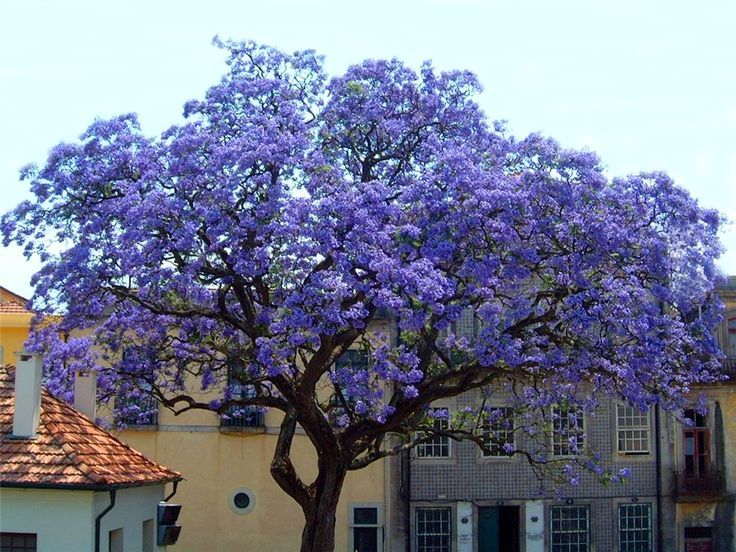 "Great fast growing tree for Texas. ""Royal Empress Tree...grows 15-18 ft./year. Empress Tree Facts Grows up to 10 feet or more in the very First Season! Explodes with rich lavender flowers that look like Orchids but smell like Jasmine. Grows as far north as Canada and as far south as Mexico."