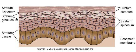 Epidermis Anatomy: Epidermis Anatomy - Keratinocyte Maturation