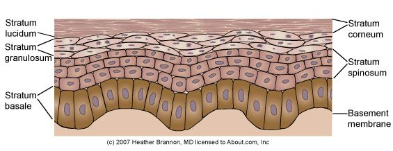 Keratinocyte MaturationThere are four major layers of keratinocytes (the structural cells) in the epidermis and one layer that is present only in certain parts of the body. The bottom layer, the stratum basale, has cells that are shaped like columns. In this layer the cells divide and push already formed cells into higher layers. As cells move into the higher layers, they flatten and eventually die. We will take a closer look at the characteristics of each of these layers.