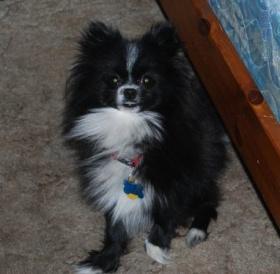 2968 Best Pomeranians Images On Pinterest Dogs