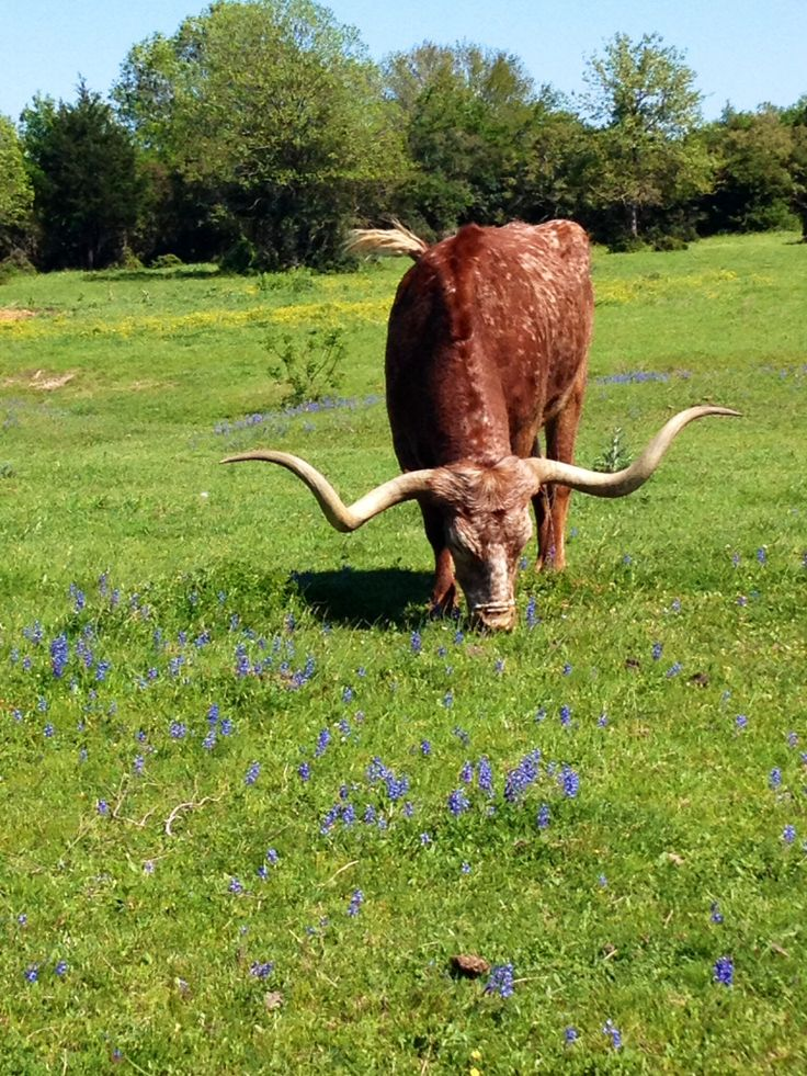 Picture by: Jan Grisham  Longhorns in College Station, Texas.