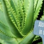 Gli eccezionali benefici dell'ALOE VERA: La pianta della vita …Scopri il perchè!