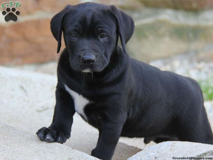 Bulldog lab mix labrador mix puppies for sale in pa