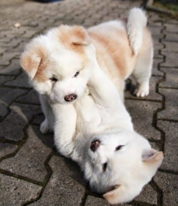two adorable chubby puppies playing together