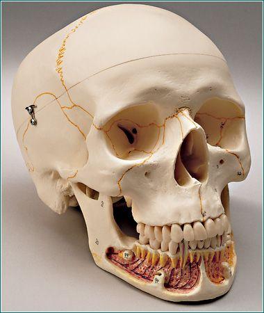dental skull | model | dental skull 800- | inspiration | pinterest, Skeleton