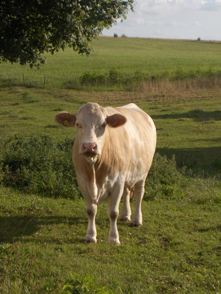 Koe in Zweden