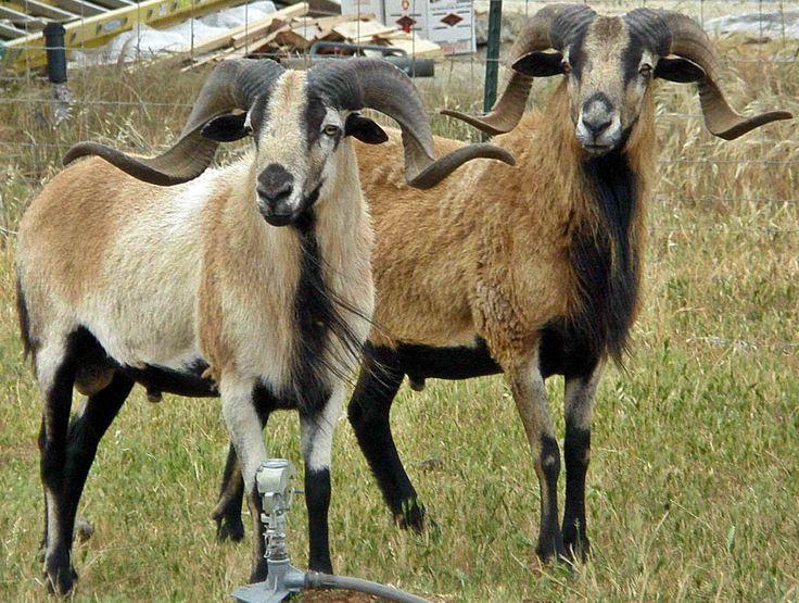 American Black Belly Sheep Blackbelly Sheep Pinterest