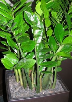 plants feng shui home layout plants. Treasure Fern Traditional Feng Shui Plants FengShui Home Layout