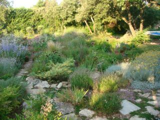 Callistemon laevis, Nandina domestica, Acca sellowiana, Stipa, Nandina,  Perovskia , Gaura, Salvia nemorosa, Frankenia laevis, with a hedge of Quercus ilex.