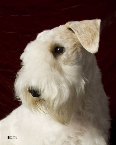 Sealyham Terrier  very white, nice and different