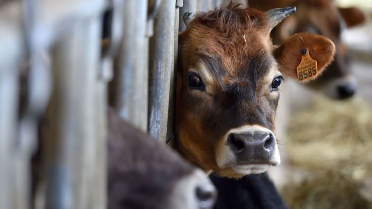 A calf is pictured in a cow pen of an organic dairy farm in Evran, western France, on February 10, 2017. / AFP / LOIC VENANCE (Photo credit should read LOIC VENANCE/AFP/Getty Images)
