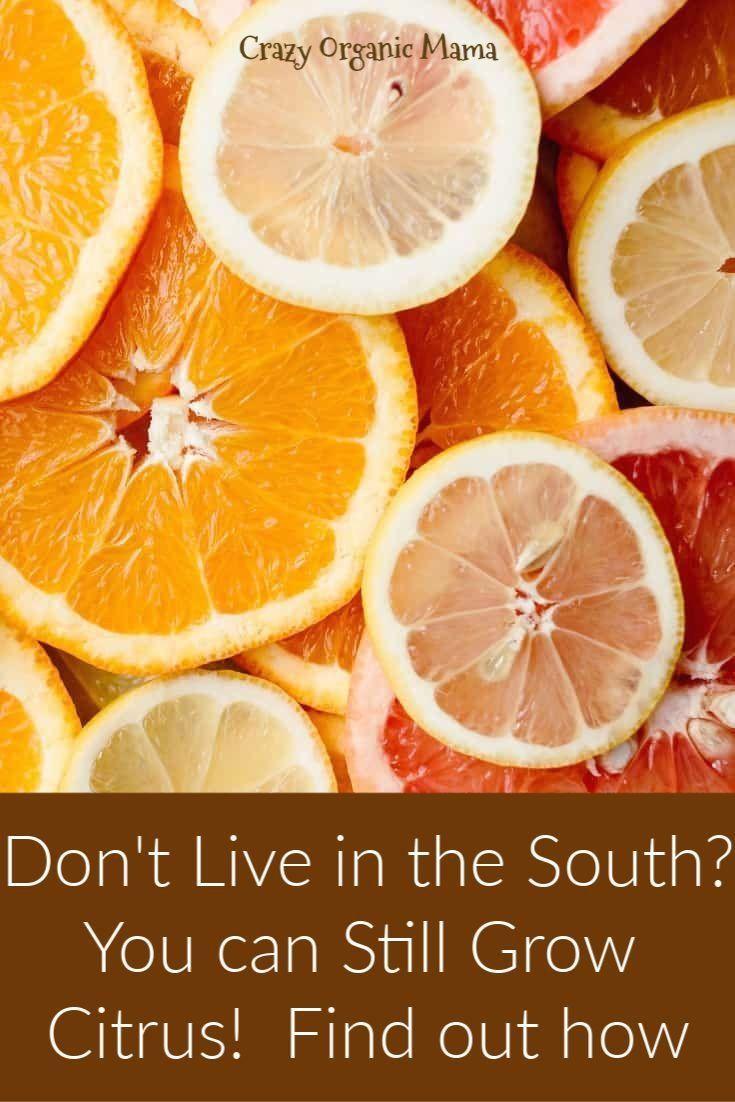 e2787f2c70a7525f83c1e86042c9d148 - Growing Citrus The Essential Gardener's Guide