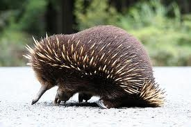Echidna: Toothless, the echidna probes with its beak and then captures worms and insects with its long sticky tongue.