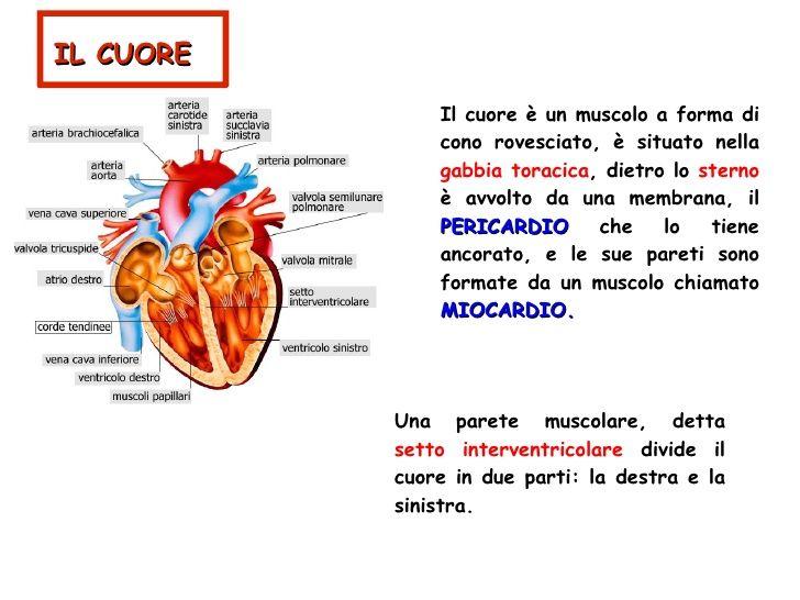 Apparato Circolatorio Diapositive1