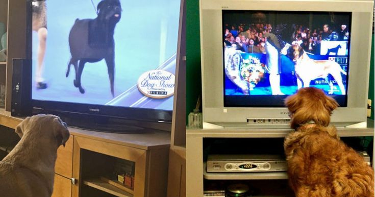 The Best Part of Thanksgiving for These Pups Was Watching The National #Dog_Show http://ibeebz.com