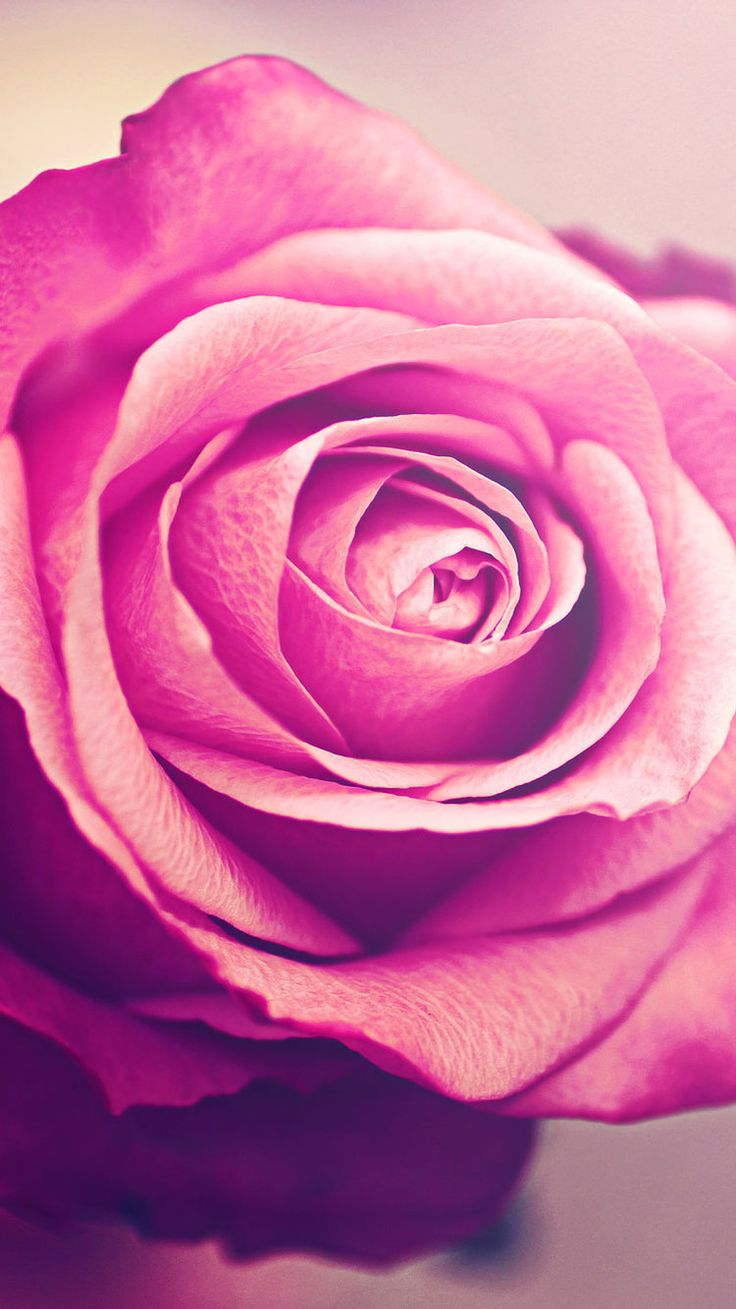 Pink Rose. 26 Happy Valentine's Day Roses/flowers Wallpapers for iPhone - @mobile9 #750x1334 #valentines