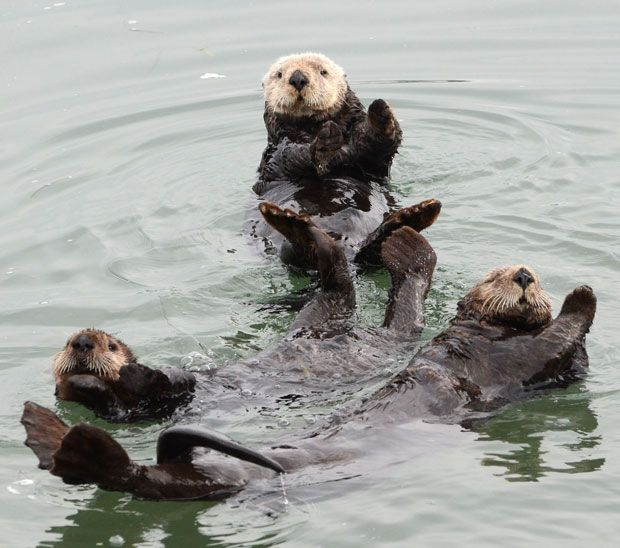 Three California sea otters appear to do a synchronised swimming 'dance' after waking from a slumber off the coast of Moss Landing, California. And by all lifting their paws out of the water to keep them warm, they seemed to be pulling off a co-ordinated move