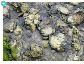 """One of our favorite """"keystone species' is the oyster! Fascinating to read how they fill such a large role in their ecosystem!"""
