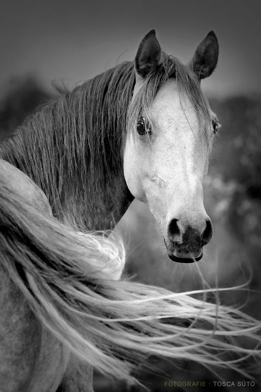 .Beautiful Horses, Arabian Hors, Equine, Black And White, Black White, White Hors, Hors Photos, Wild Hors, Animal