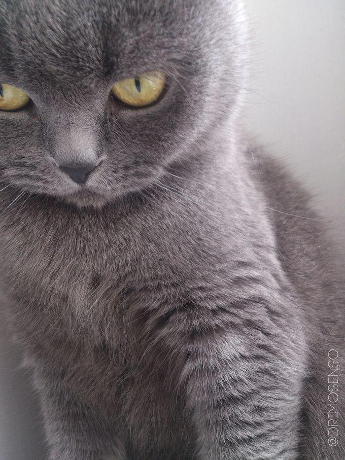 Purr Purr Scottish Fold cat - Album on Imgur