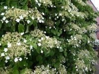 Klimhortensia hydrangea tegen schutting