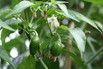 Pepper plants grow in full sun in virtually every growing zone. Prune them early in the season to improve fruit quality and late to hasten ripening.