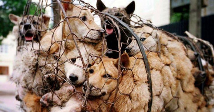 Tous les ans se tient le Festival de la viande de chien, à Yulin, en Chine,dans la province autonome du Guangxi, au sud-ouest du pays. Une véritable boucherie...