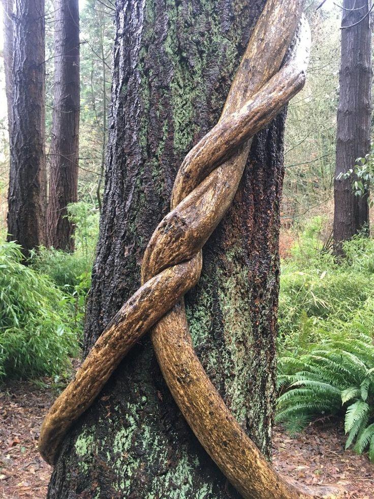 Roots embrace a tree at the UBC Botanical Garden.  (Lynn Jacobson / The Seattle Times) #exploreBCgardens #gardentourism #botanicalgardens