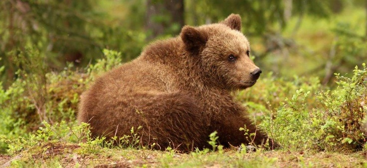 Brown bear in National park Sjeverni Velebit