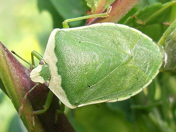 Eccola lì, verde e dall'inconfondibile odore: la Cimice verde è un insetto abbastanza diffuso, popolarmente chiamato puzzola o puzzotta, nomi comuni dovuti alla suo particolare modo di difendersi dai predatori. E pare proprio che funzioni dato che la Nezara Viridula, questo è il suo nome scientifico, non tema proprio nessuno… quasi tutti sono intimoriti dalla sue puzzette prodotte da speciali ghiandole odorifere.